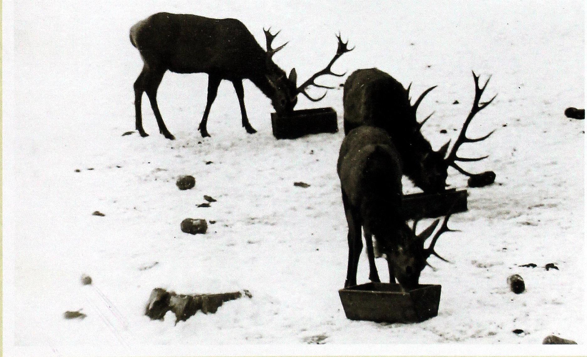 Охота в Роминтской пуще. Rominten Heide Hirschen